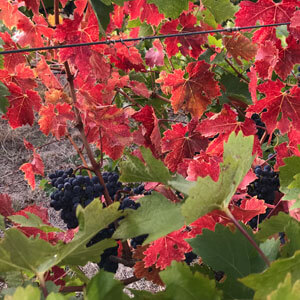 Fungicide crop protection for vineyards and orchards