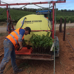 Planting new vines as part of vineyard redevelopment