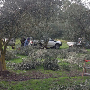 Olive grove management