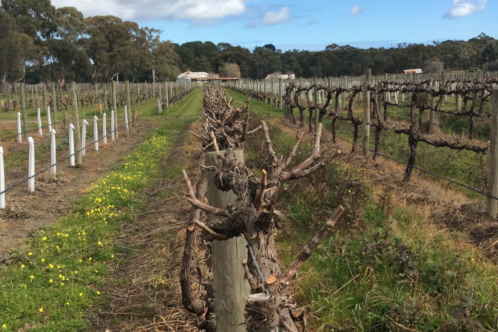 Vineyard pruning by Pridham Viticulture